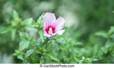 Hibiscus syriacus flower