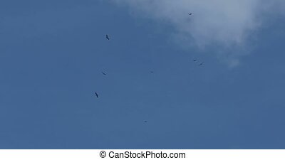 4K, Bunch of eagles, orbiting for food