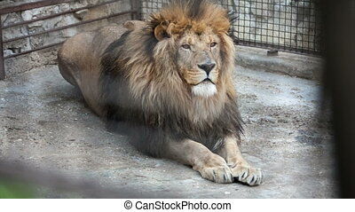 old lion lies in a zoo day
