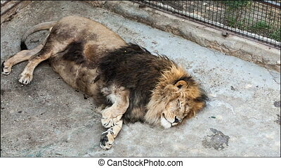 old lion lying on its side in a zoo day