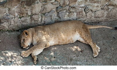 Lioness lying on its side in a zoo day