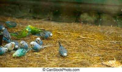 lots of colorful budgies peck feed