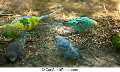 colorful parrots pecking feed