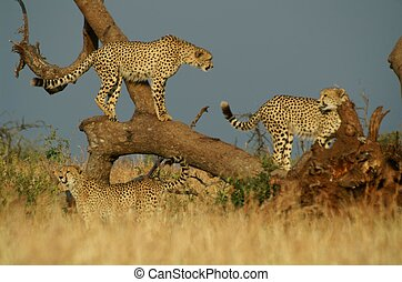 Cheetah - 3 musketeers