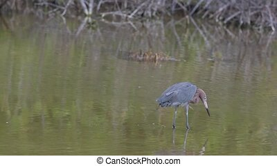 Reddish Egret looking for food