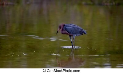Reddish Egret Hunting Slow Motion - Reddish Egret Egretta...