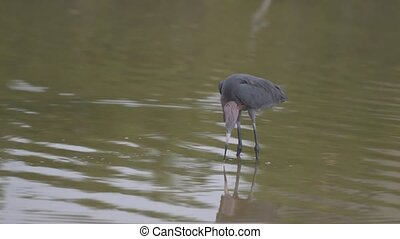 Reddish Egret Egretta rufescens searching food in shallow...