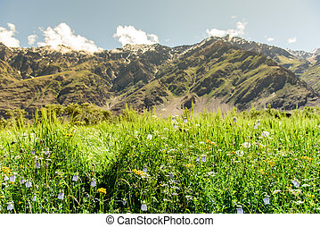Flower field with snow mountain and sunny day, Kashmir, India.