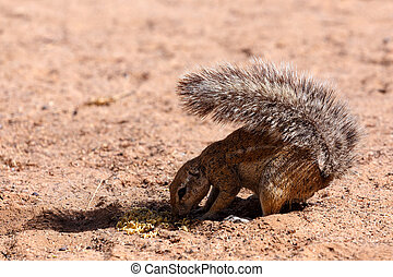 South African ground squirrel Xerus inauris,with a raised...