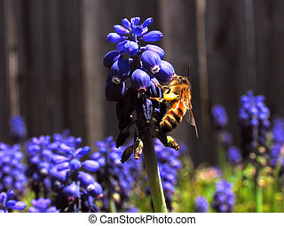 Bee Getting Nectar from Grape hyacinth flower