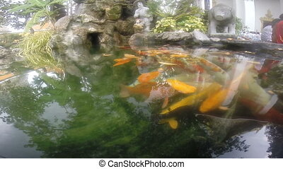 Koi carp underwater shoot - Underwater scene with...