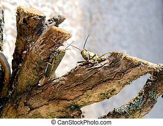 Grasshoppers - Two grasshoppers in the branches of a tree