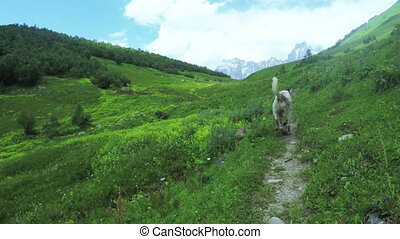 Dog in alpine meadows - Camera on steadicam moves along path...