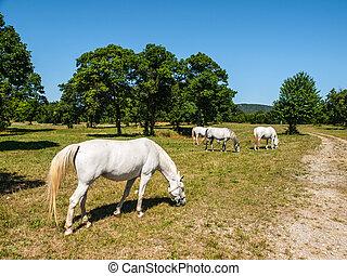 White Lipizzaner Horses on pasture, Lipica, Slovenia