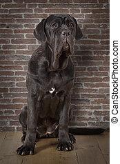 Mastiff neopolitano dog indoors - Purebred Mastiff...