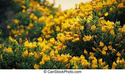 Gorse Bush Yellow Flowers In Wind - Closeup of gorse in...