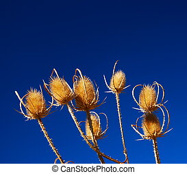 Dry thistle - Dry golden thistles and deep blue sky