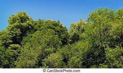 Large Trees On Nice Summer Day - Woods in the sun with tall...