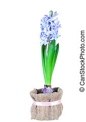 Beautiful brightly-blue hyacinths isolated on a white...