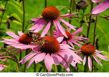 Purple Coneflower 38