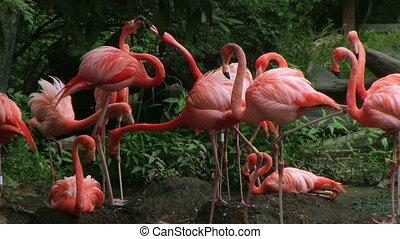 American Flamingo Mating Ritual 02 - American flamingo...