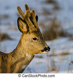 Roebucks Portrait - A portrait of a beautiful roebuck...