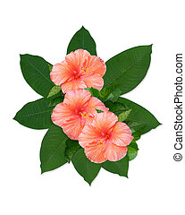 Tropical flowers hibiscus and leaves - Image and...