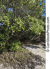 Black mangroves with pneumatophores rising above mud -...