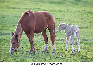 Adorable baby horse with its mother eating green grass