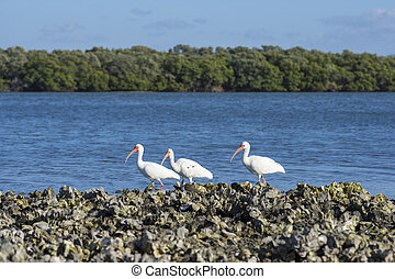 White ibis sea birds in Florida - Three Eudocimus albus...