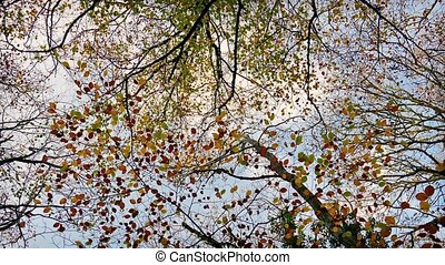 Overhead Trees With Colorful Leaves - Looking up at canopy...