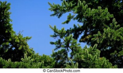 Pine Tree In Breeze On Sunny Day - Big evergreen tree moving...
