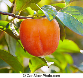 persimmon khaki fruit in the tree with leafs - persimmon...