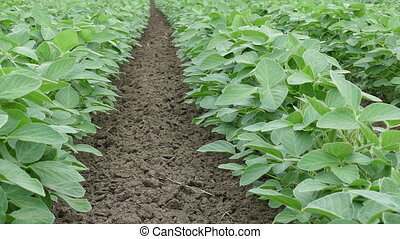 Soy bean plant in field, zoom in fo - Agriculture, green...