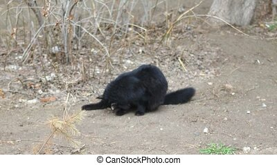 Feral Black cat licking on ground, winter time