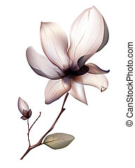 magnolia flower - illustrations drawing of beautiful...