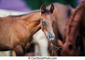 Foal eating hay - Arabian foal eating hay outdoor