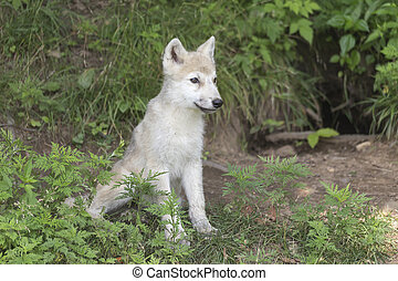 Arctic Wolf pup in the woods