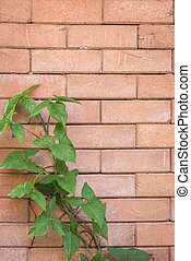 Green ivy on red brick wall background - Close up green ivy...