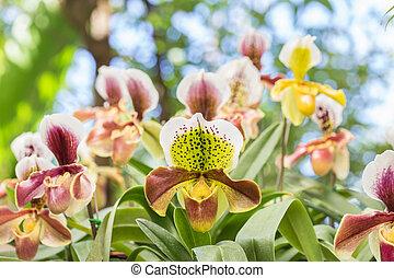 Paphiopedilum (orchid) in public garden, Chiang Rai...