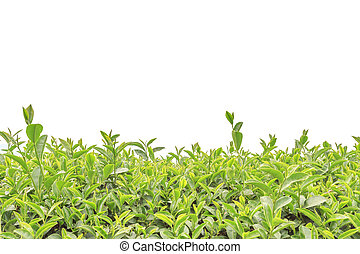 Close up tea plantation isolated on white background