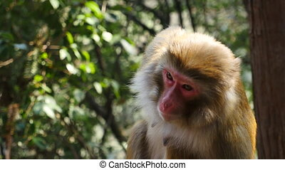 closeup of a wild female monkey - monkey in south China