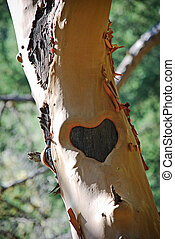 Heart Carved on Tree Trunk - Dark heart carved on manzanita...