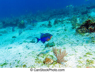The Triggerfish Balistoides, Cayo Largo, Cuba