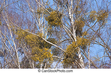 Birch tree with Common Mistletoe - Birch tree with some...
