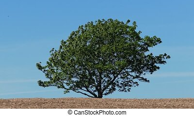 Single Tree Against Blue Sky - A large tree in the wind on a...
