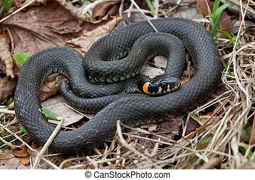 füves, kígyó, closeup