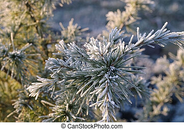 pine twig with hoarfrost in winter