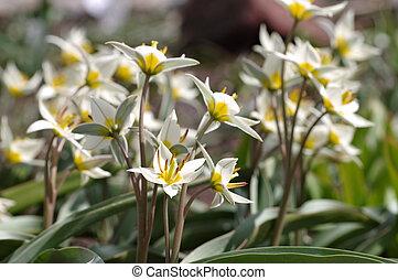 wild tulip Tulipa turkestanica - wild tulip is called Tulipa...