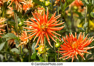jardim, cima, fim, laranja,  Dahlia, flores